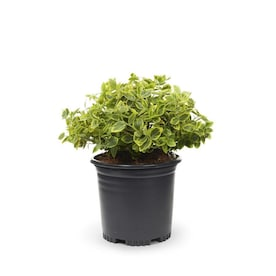 2.5-Quart White Emerald N Gold Euonymus Accent Shrub in Pot (L9280)