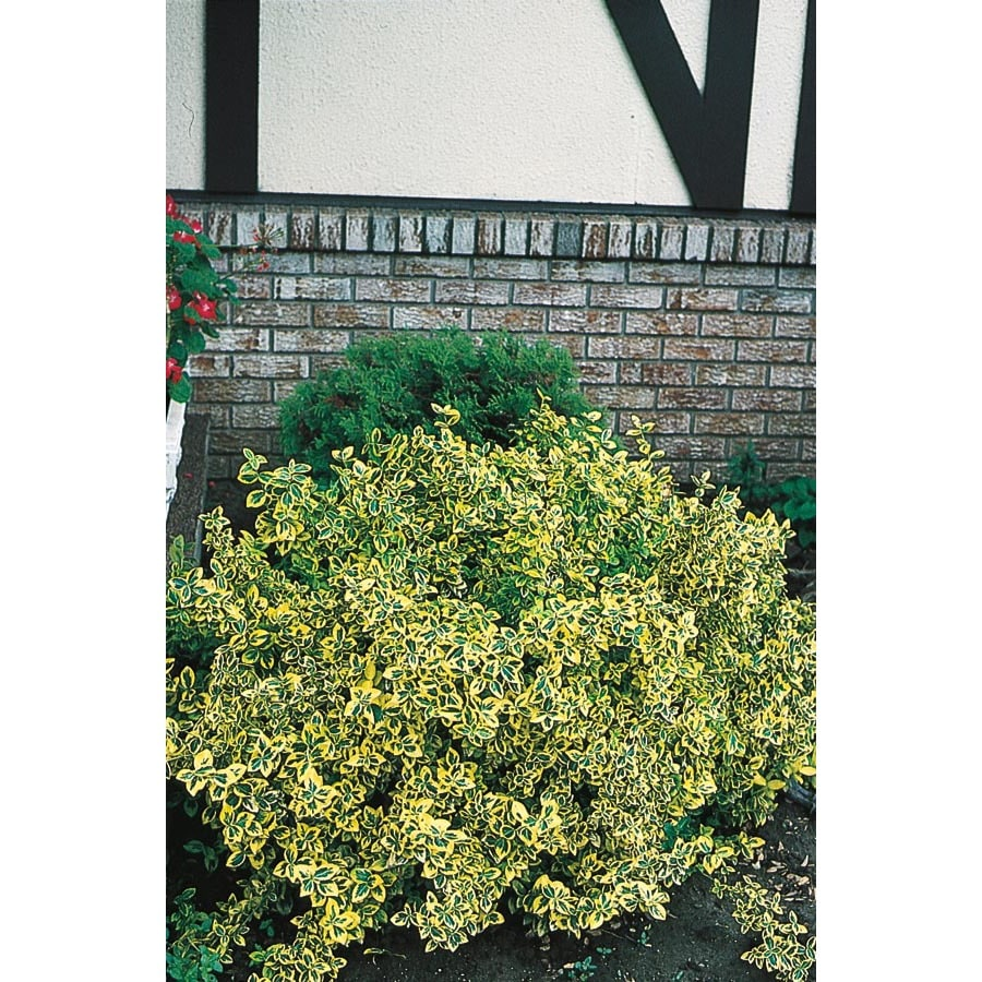 3-Gallon White Emerald 'N Gold Euonymus Accent Shrub (L9280)