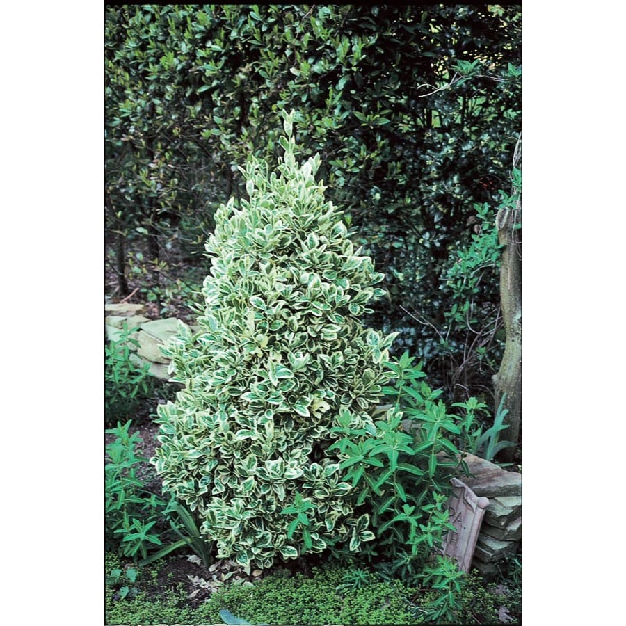 3-Gallon White Silver King Euonymus Accent Shrub (L3842)