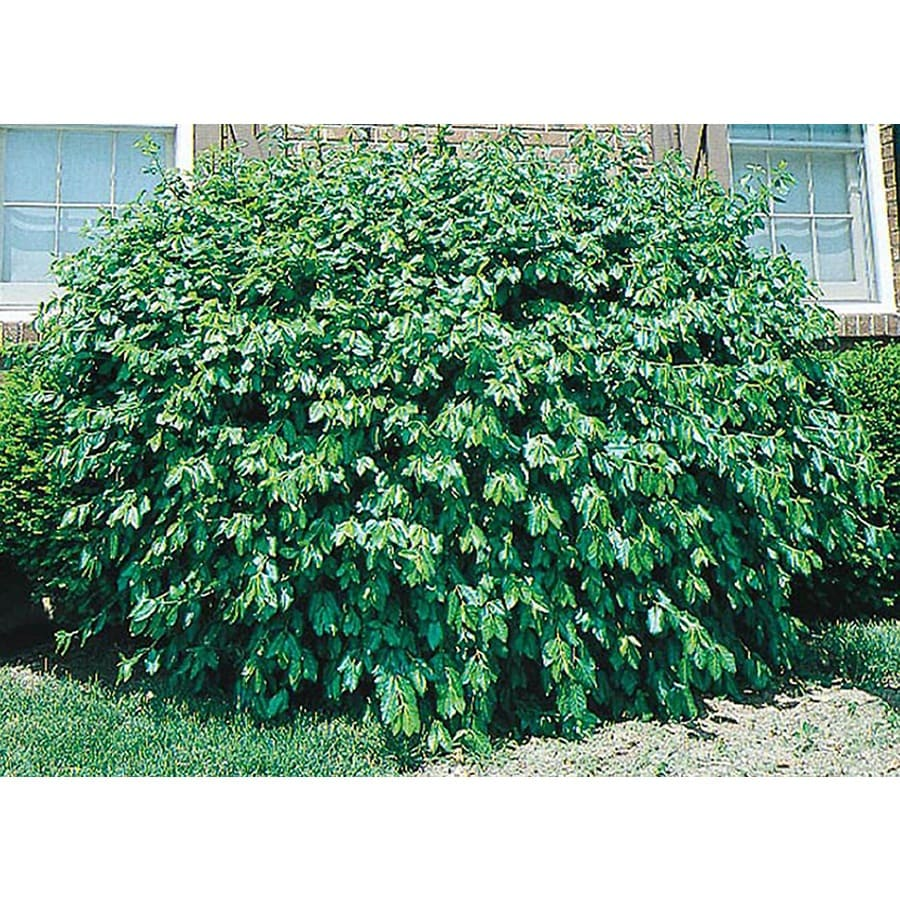 2.25-Gallon Manhattan Euonymus Accent Shrub (L3902)
