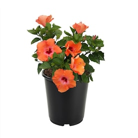 2.5-Quart Multicolor Hibiscus Flowering Shrub in Pot (L10437)