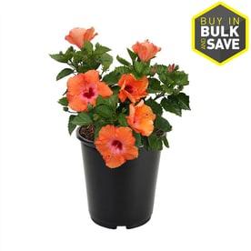 2.5-Quart Multicolor Hibiscus Flowering Shrub (L10437)