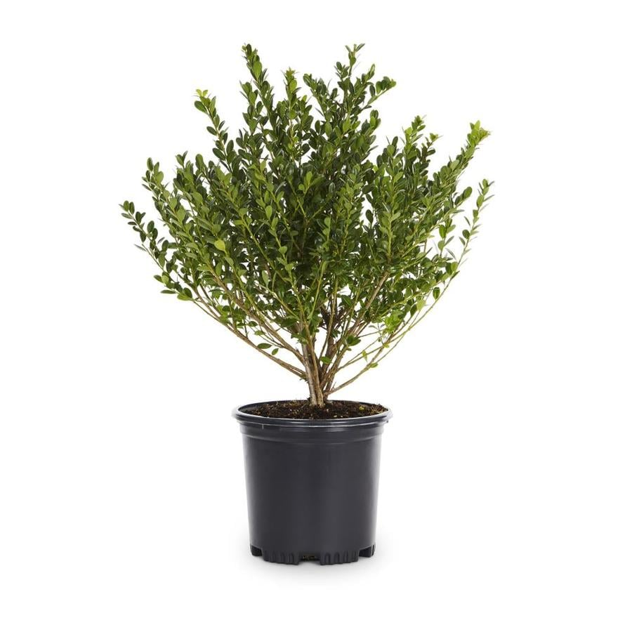 2-Quart White Compact Japanese Holly Foundation/Hedge Shrub (L5284)