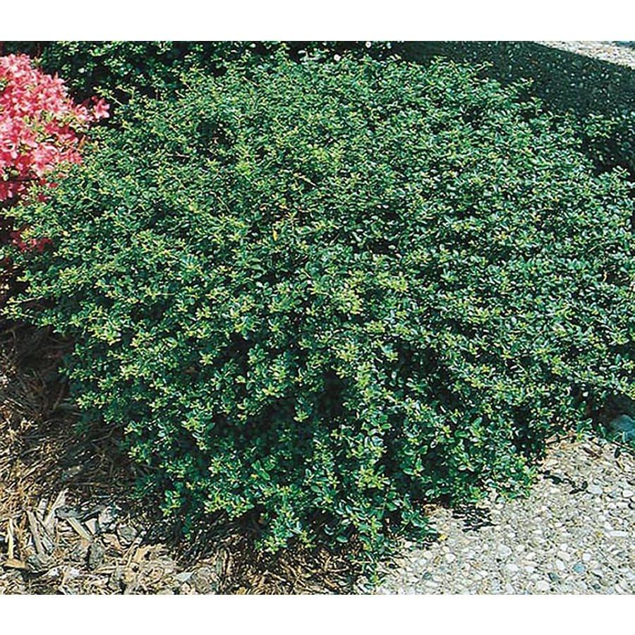 2-Quart White Heller's Japanese Holly Foundation/Hedge Shrub (L3781)