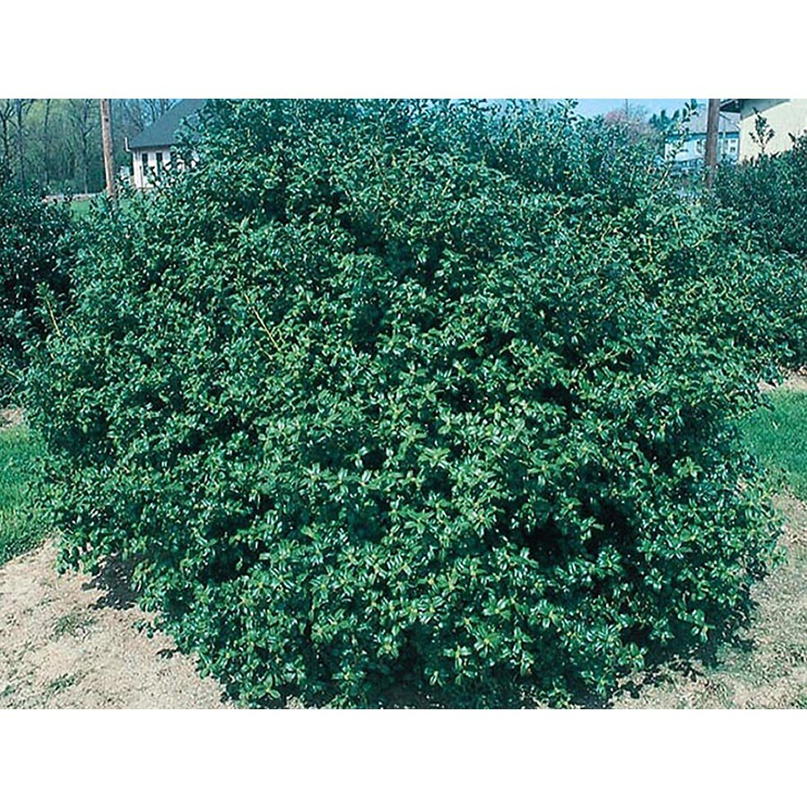 2-Quart White China Boy Holly Foundation/Hedge Shrub (Lw00248)
