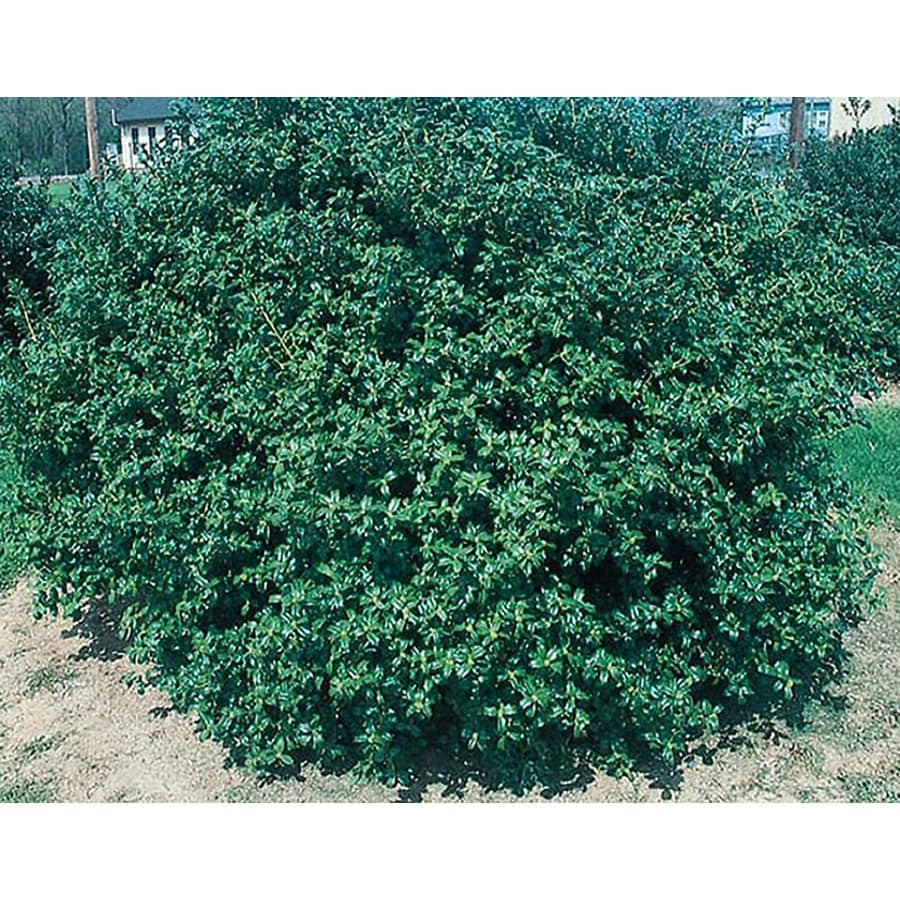 3-Gallon White China Boy Holly Foundation/Hedge Shrub (Lw00248)