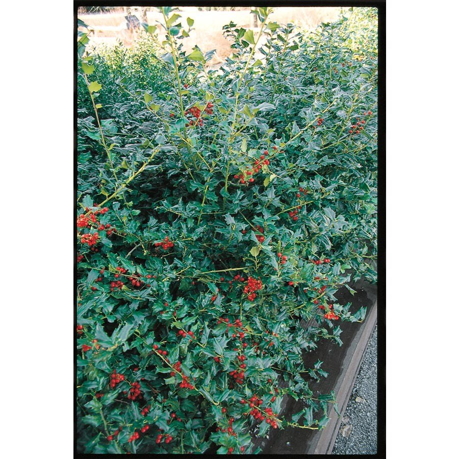 2-Quart White China Girl Holly Foundation/Hedge Shrub (Lw00249)