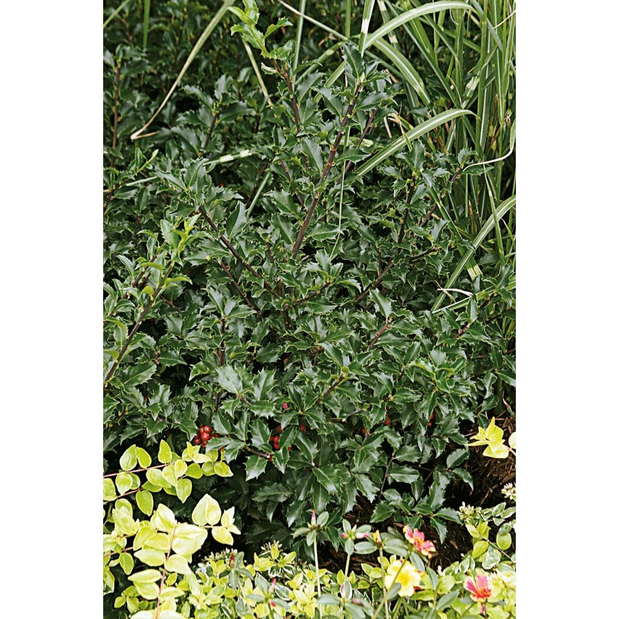 2-Quart White Blue Prince Holly Foundation/Hedge Shrub (L4500)