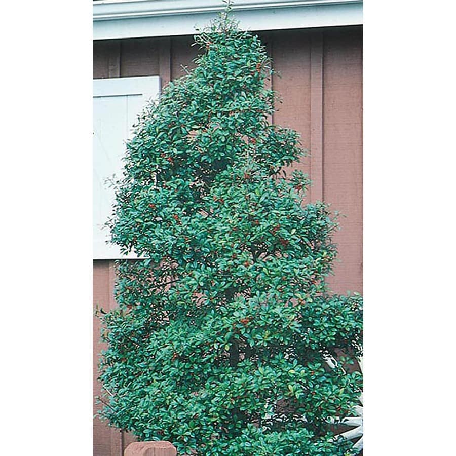 3.25-Quart Foster Holly Feature Shrub (L5287)