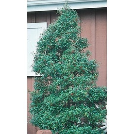 3 Quart White Foster Holly Feature Shrub In Pot L5287