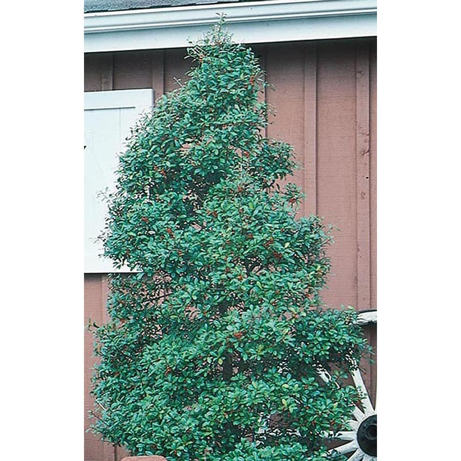 5-Quart White Foster Holly Feature Shrub (L5287)