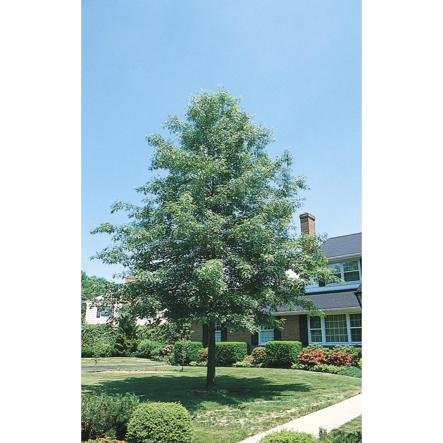 5.5-Gallon Pin Oak Shade Tree (L1097)