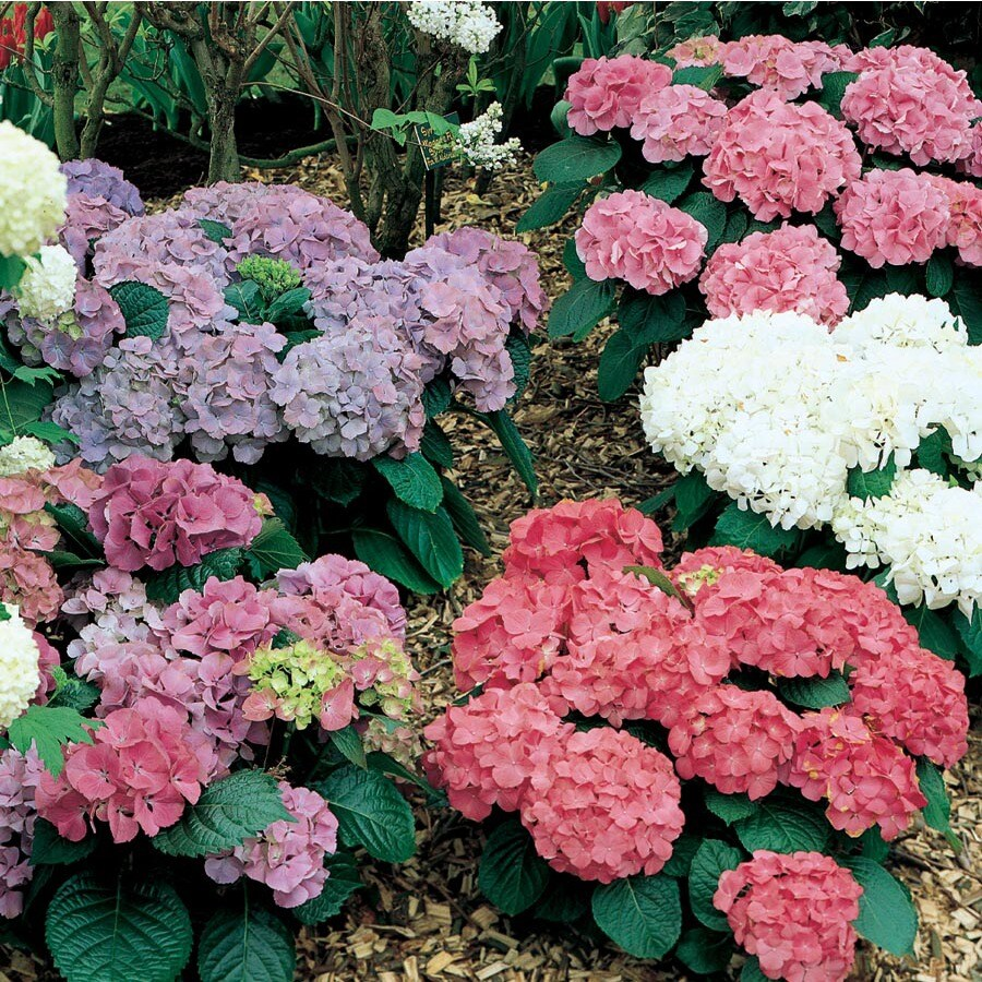 2-Gallon Multicolor Hydrangea Flowering Shrub (L6357)