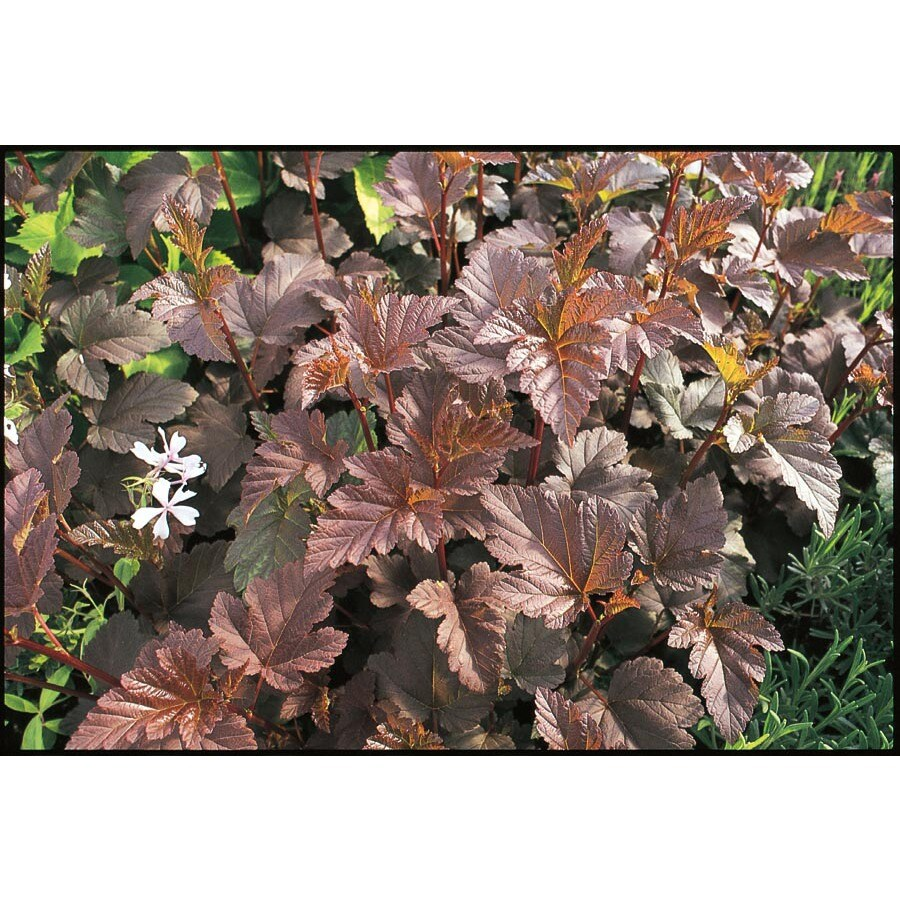 3-Gallon White Diablo® Purple-Leaved Ninebark Accent Shrub (L11316)