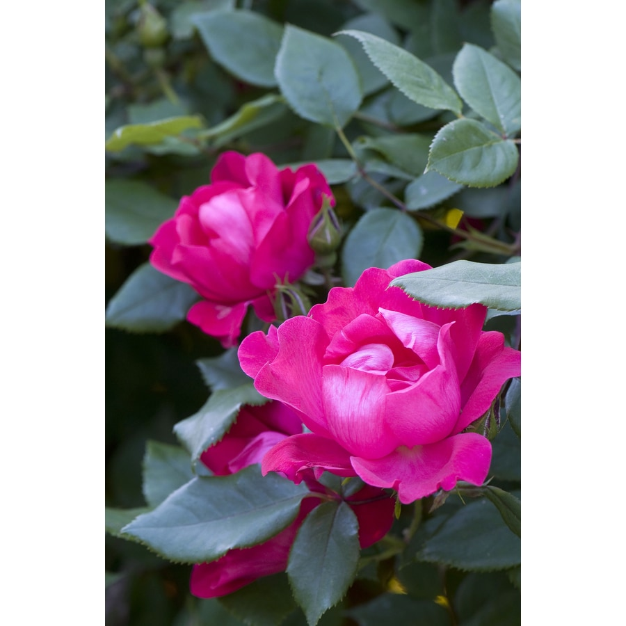 2.25-Gallon Knock Out Rose (L10923)