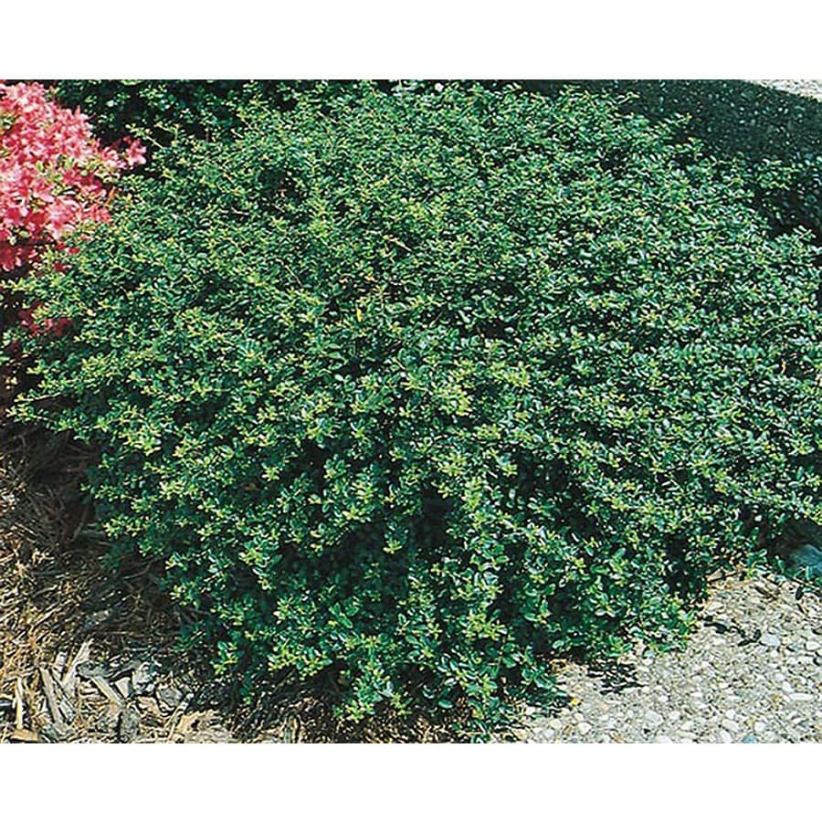 2-Gallon White Heller's Japanese Holly Foundation/Hedge Shrub (L3781)
