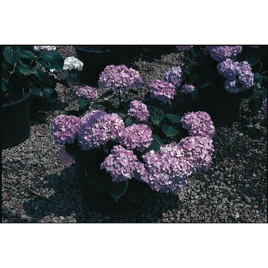 Endless Summer 2-Gallon Blue Endless Summer Hydrangea Flowering Shrub (L14704)
