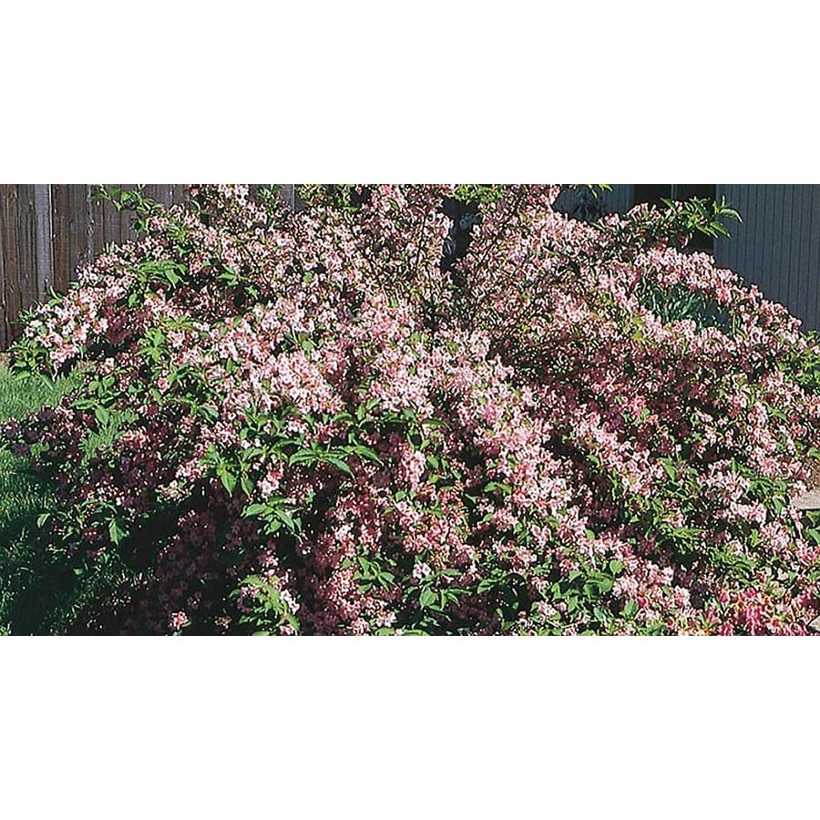 2.25-Gallon Mixed Weigela Assorted Accent Shrub (L6043)