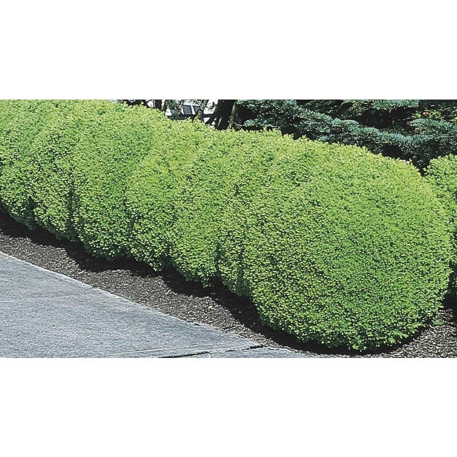 6-Gallon White Green Mountain Boxwood Foundation/Hedge Shrub (L7204)