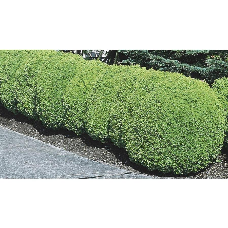 6-Gallon Green Mountain Boxwood Foundation/Hedge Shrub (L7204)