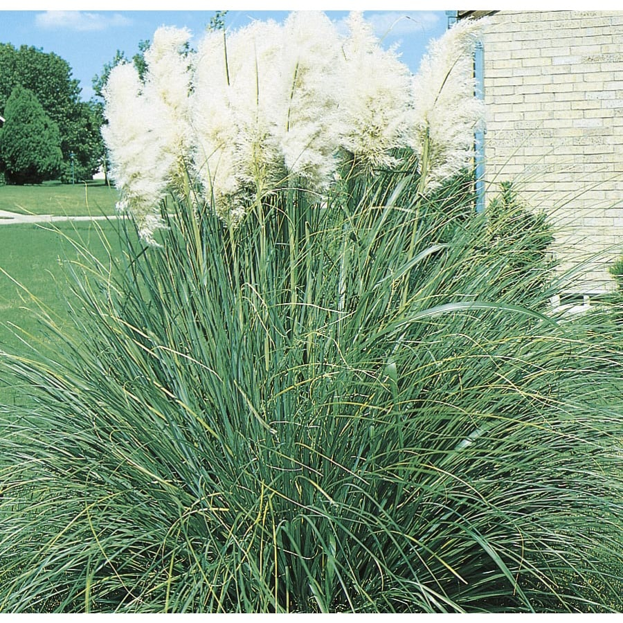 2.25-Gallon White Pampas Grass (L9849)
