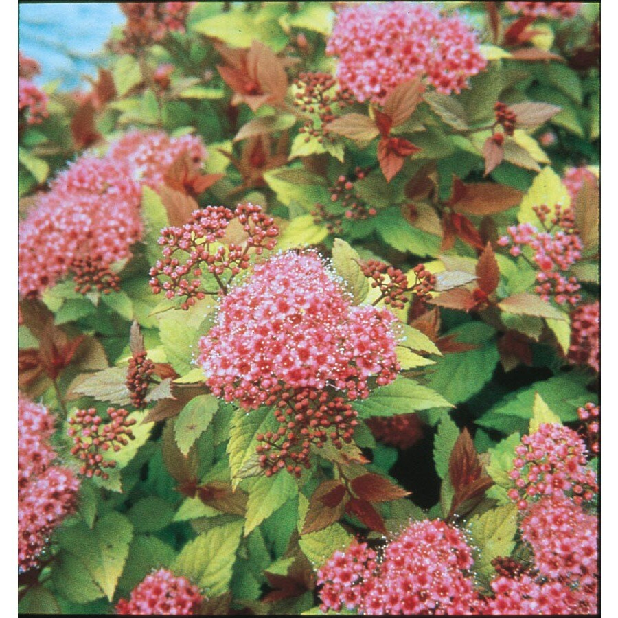 Shop 2 Gallon Pink Magic Carpet Spirea Flowering Shrub L9245 At