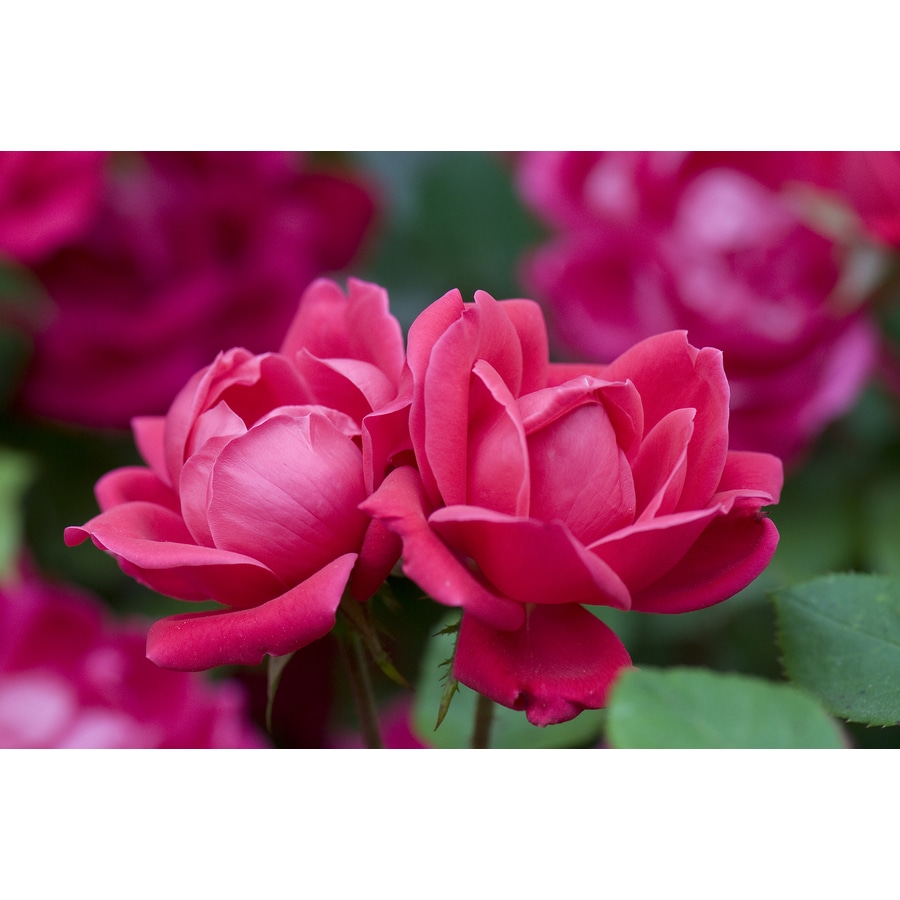2-Gallon Pot Double Knock Out Rose Red