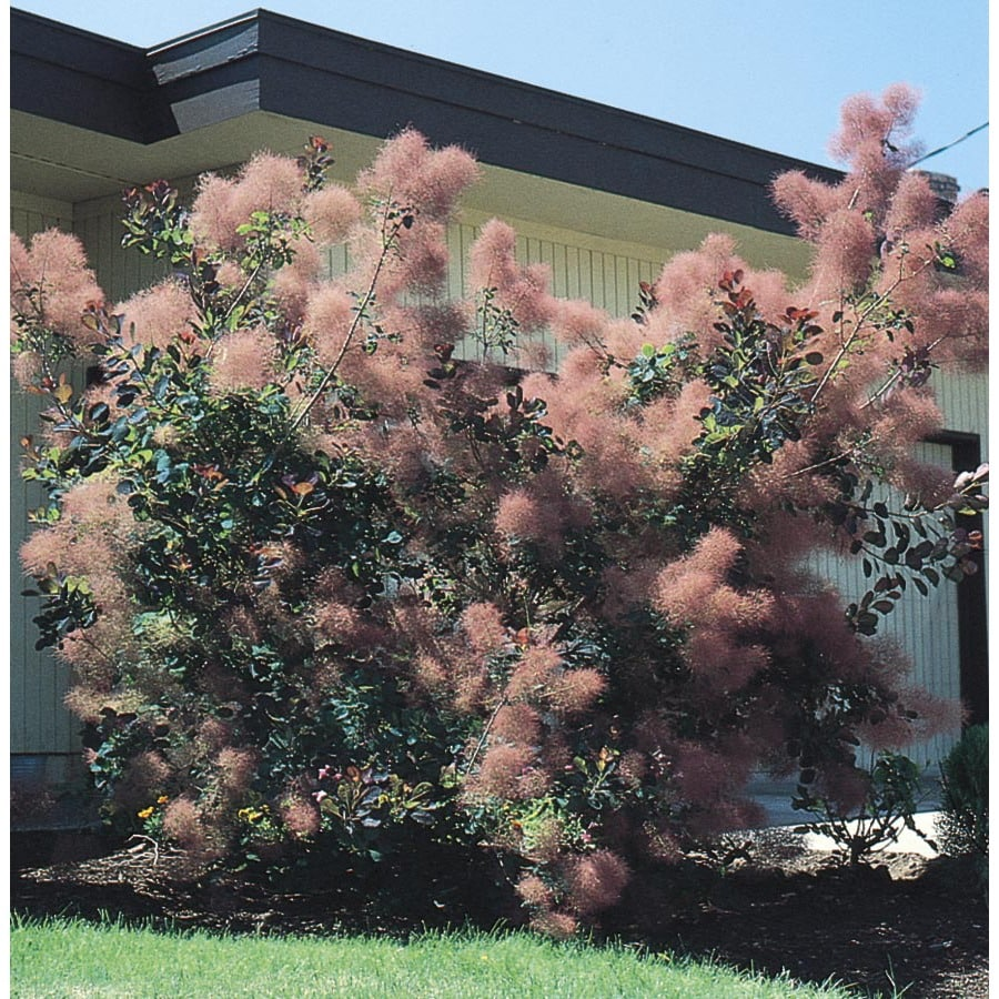 3.7-Gallon Pink Smoke Tree Feature Shrub (L4697)