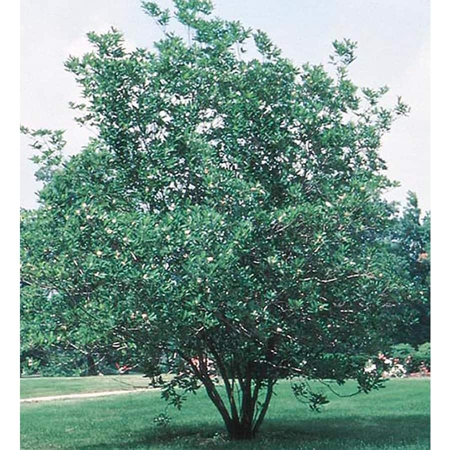 3.25-Gallon Sweet Bay Magnolia Flowering Tree (L1239)