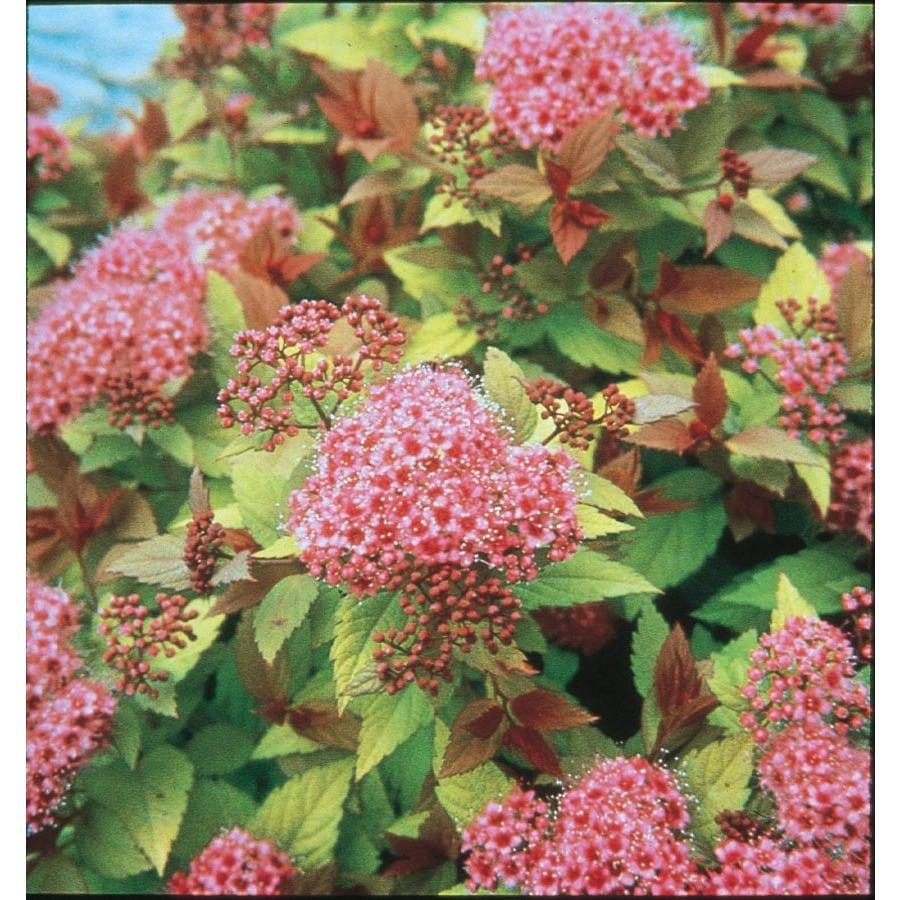 3-Gallon Pink Magic Carpet Spirea Flowering Shrub (L9245)