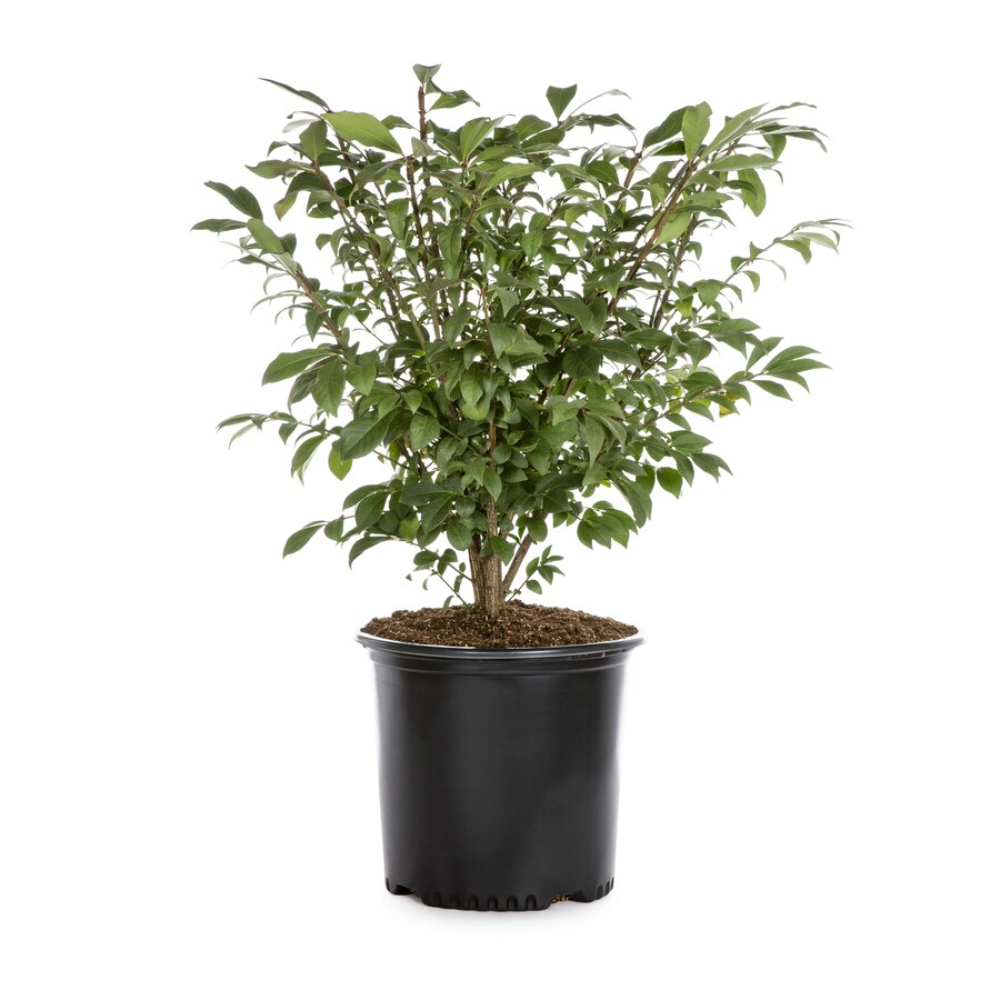 2.25-Gallon Dwarf Burning Bush Foundation/Hedge Shrub (L1009)