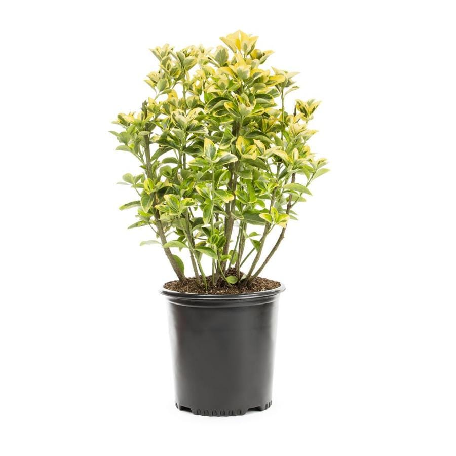 2.25-Gallon Golden Euonymus Accent Shrub (L3159)
