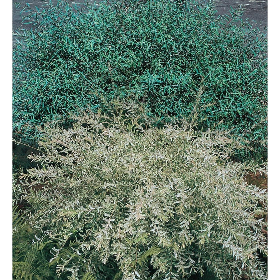 3.25-Gallon Dappled Willow Accent Shrub (L20514)