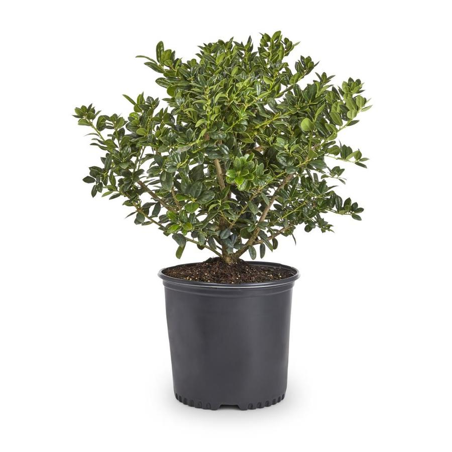 2-Gallon White Dwarf Burford Holly Foundation/Hedge Shrub (L7074)