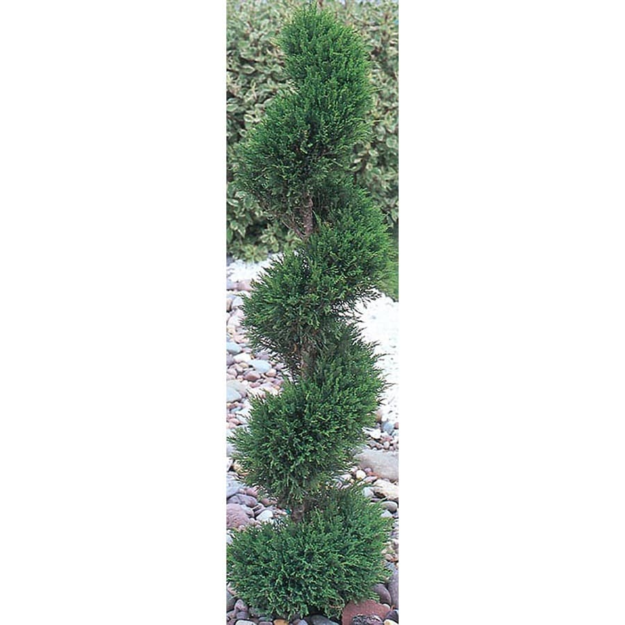3.25-Gallon Spiral Blue Point Juniper Feature Shrub (L14717)