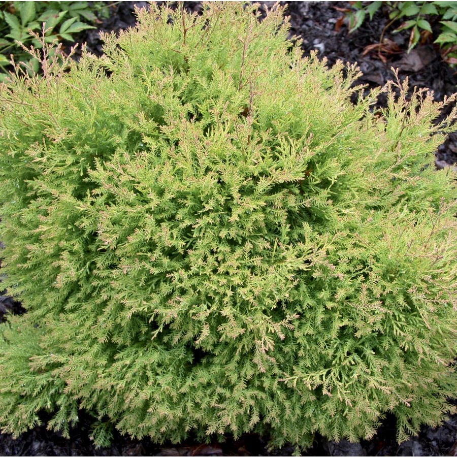 2-Gallon Fire Chief Arborvitae Accent Shrub (L24222)