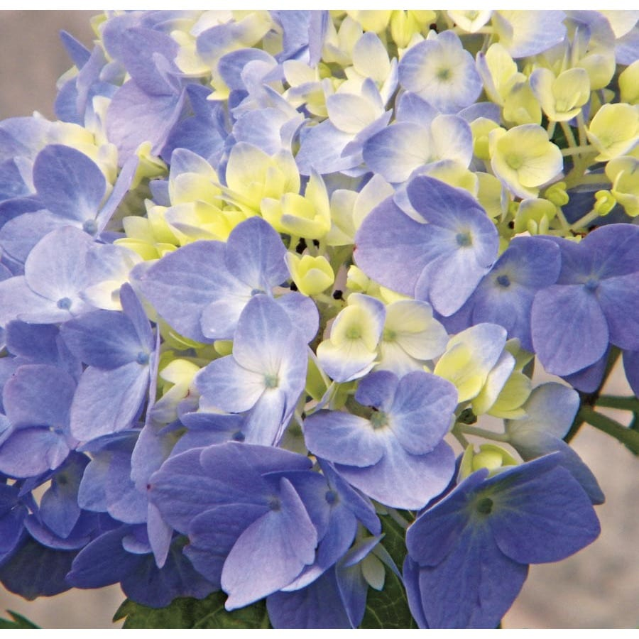 3.7-Gallon Blue or Pink Nantucket Blue Hydrangea Flowering Shrub (L25722)