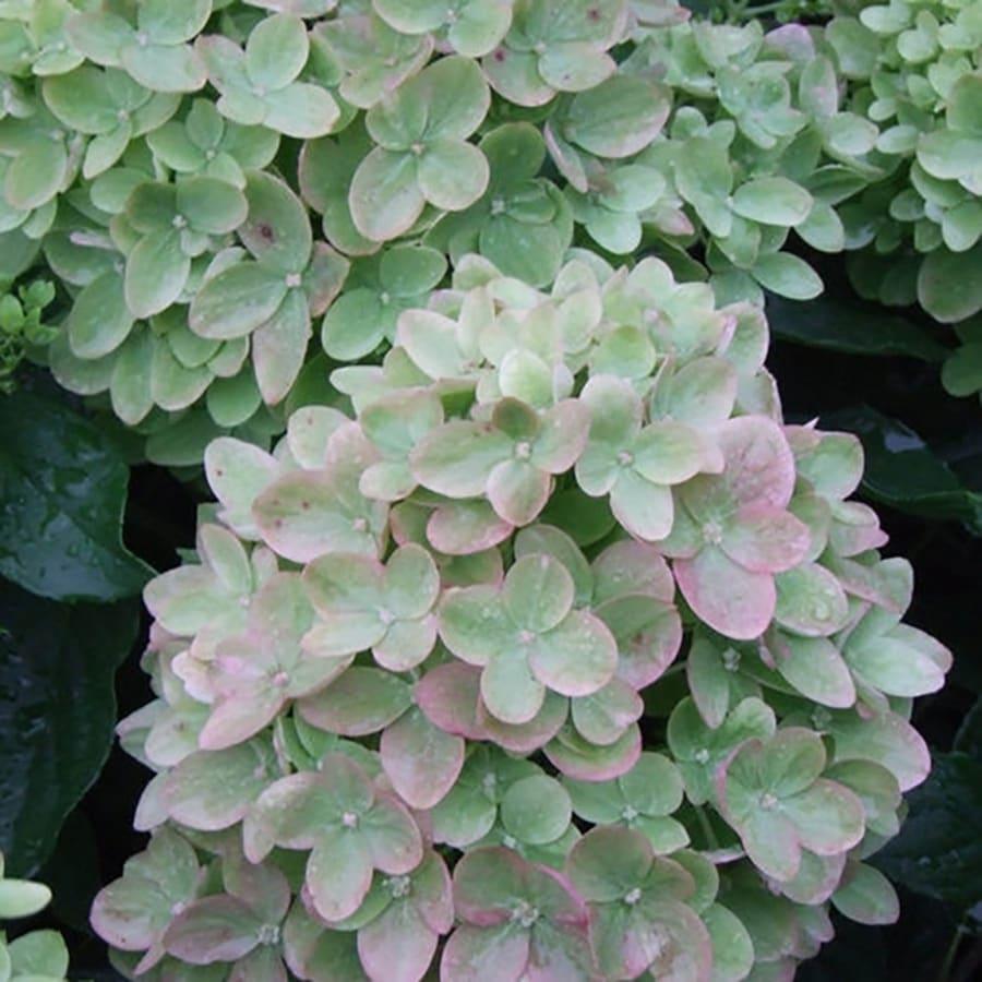 3-Gallon Multicolor Hydrangea Flowering Shrub