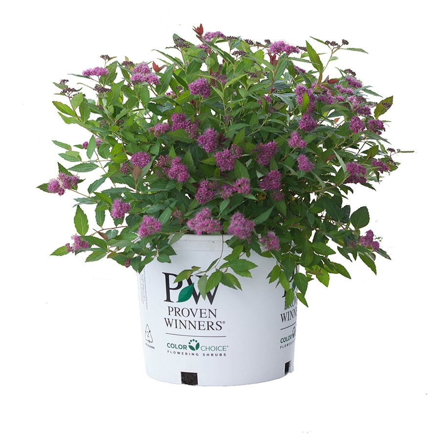 3-Gallon Pink Spirea Flowering Shrub