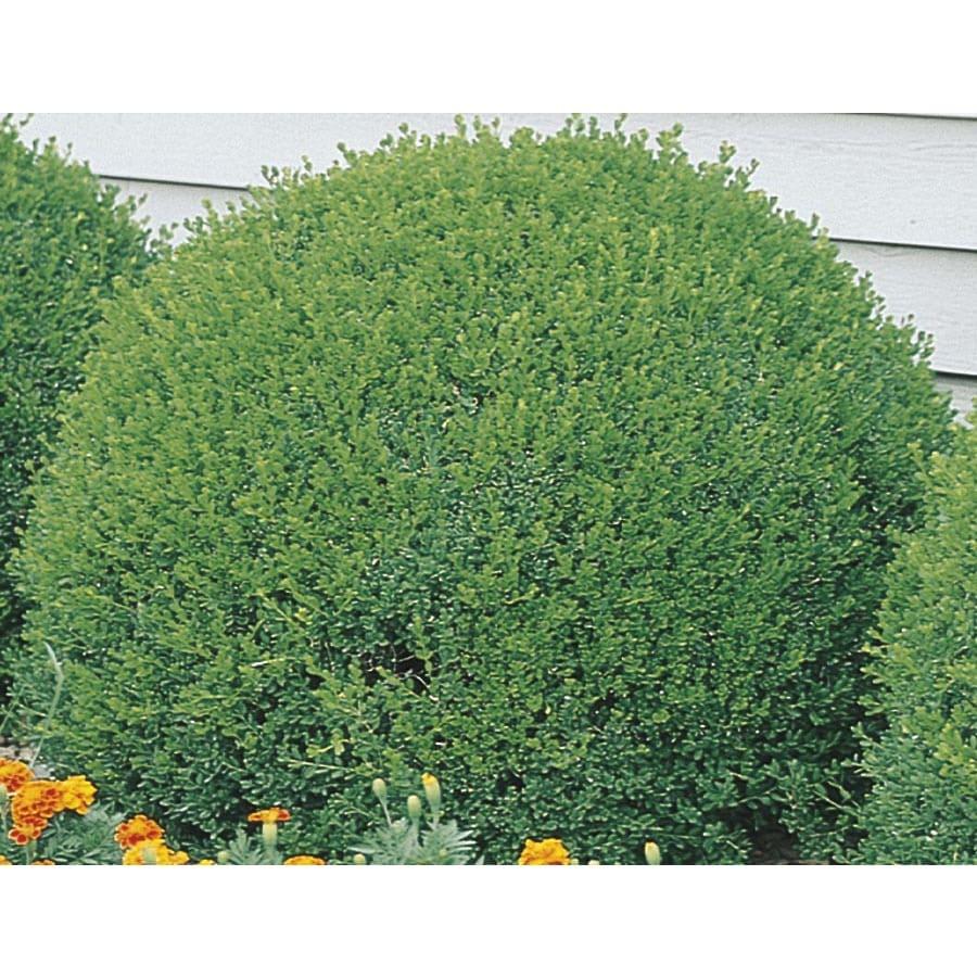 1-Gallon Green Velvet Boxwood Foundation/Hedge Shrub (L7205)