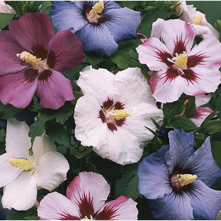 1-Gallon Multicolor Rose Of Sharon Flowering Shrub (L1203)