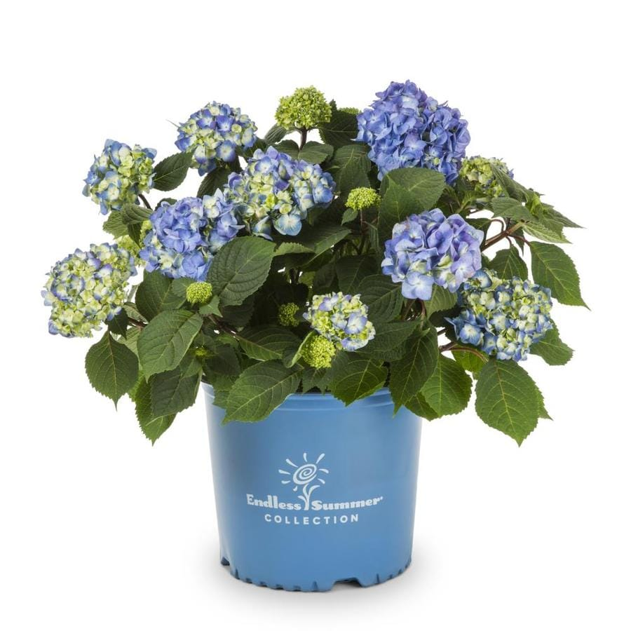 Endless Summer 2-Gallon Boomstruck Hydrangea