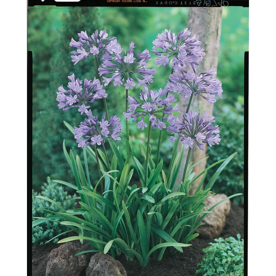 2.5-Quart Peter Pan Agapanthus (L5577)