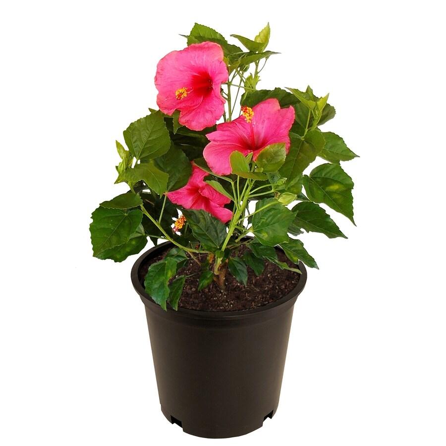 2 Gallon Multicolor Hibiscus Flowering Shrub In Pot At Lowescom