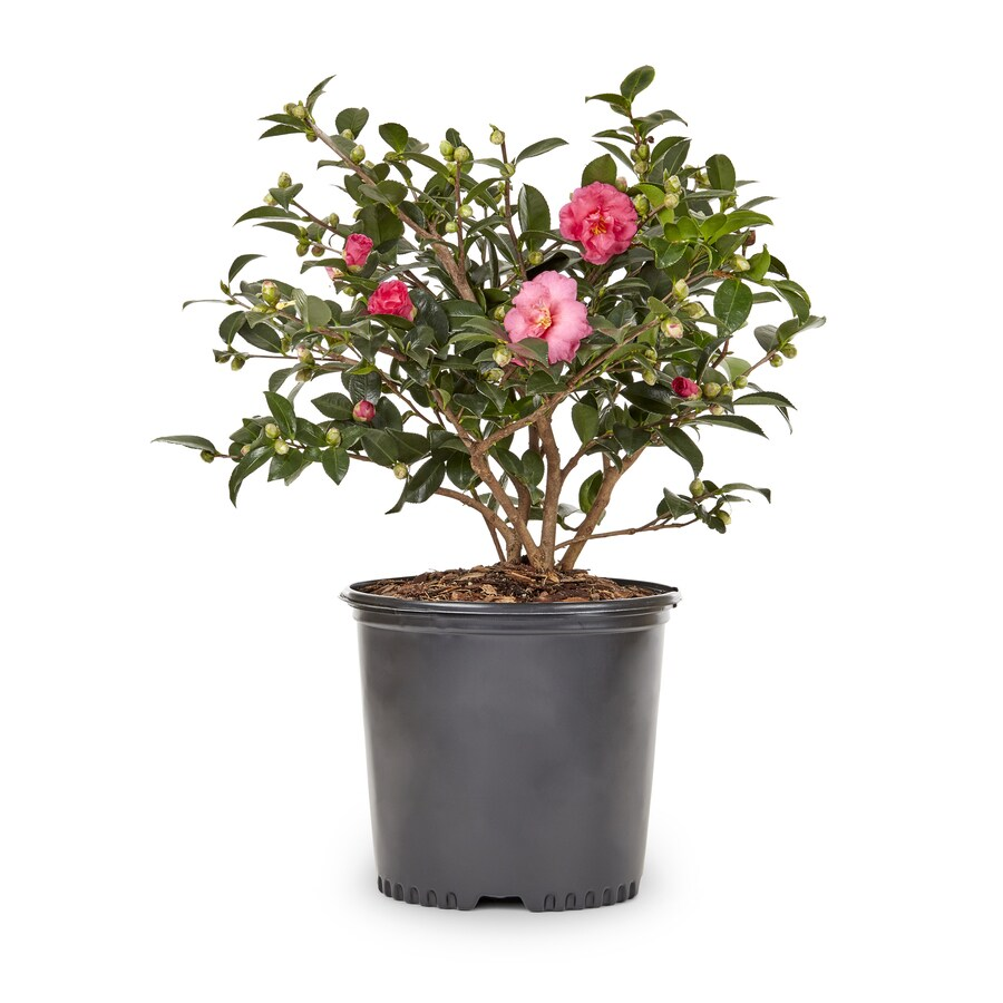 2-Gallon Multicolor Sasanqua Camellia Flowering Shrub (L5699)