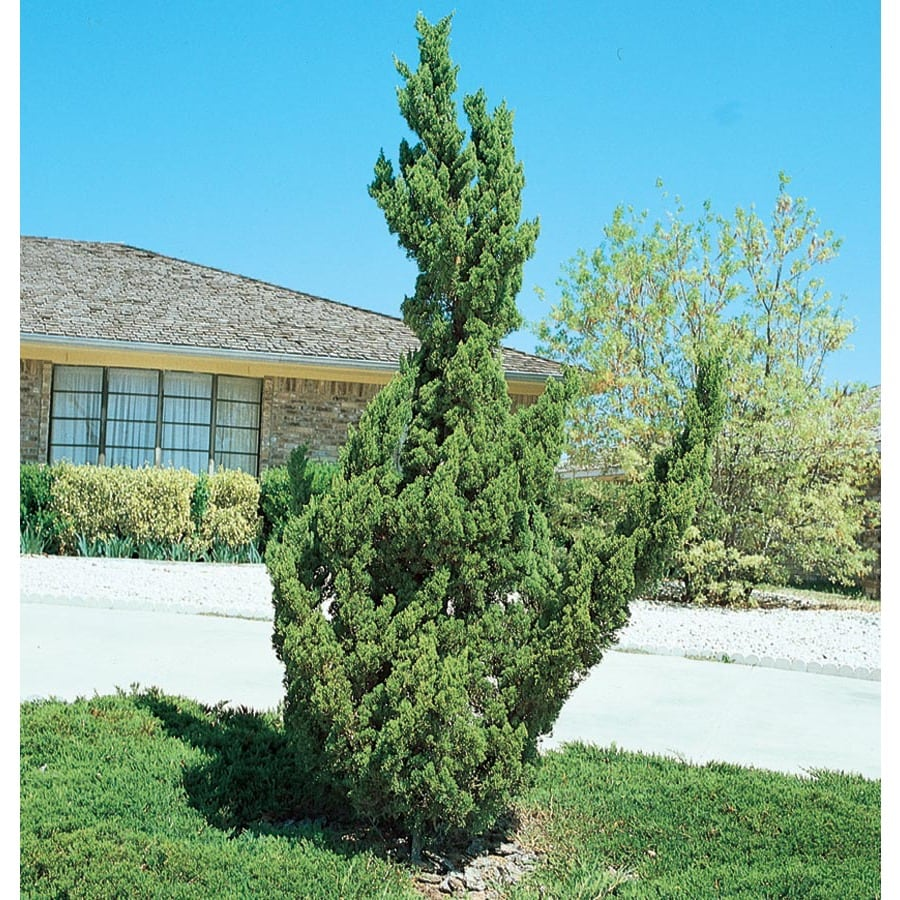 1-Gallon Hollywood Juniper Feature Shrub (L3041)