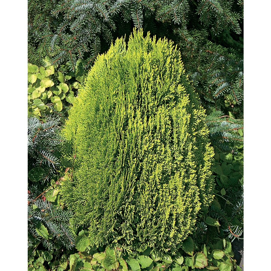 2.5-Quart Berkman's Golden Arborvitae Accent Shrub (L3923)