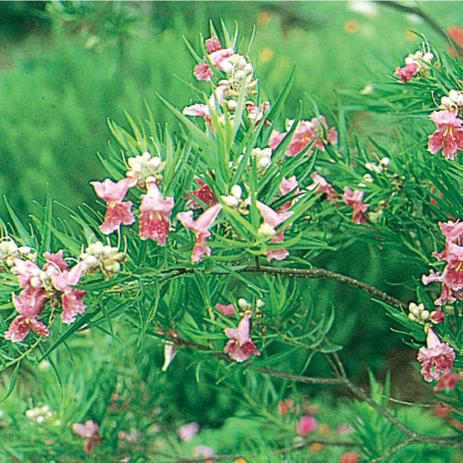 3.25-Gallon Bubba Desert Willow Feature Tree (L7025)