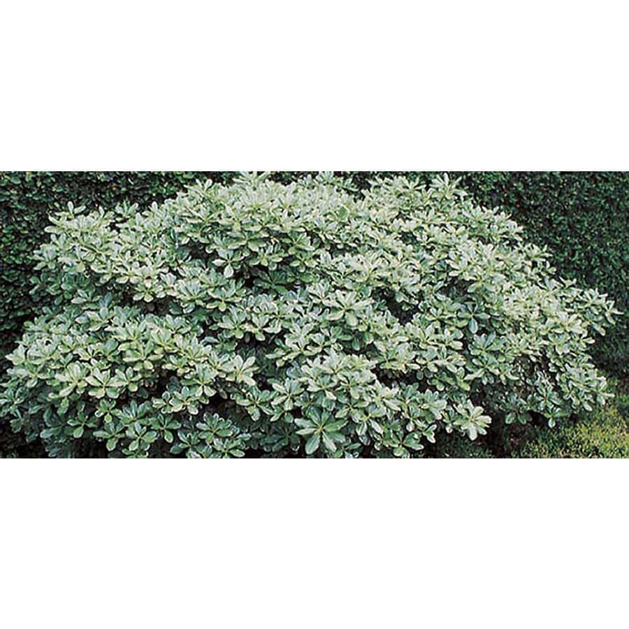2.25-Gallon White Variegated Pittosporum Foundation/Hedge Shrub (L10907)