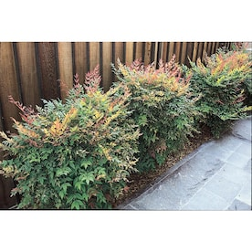 2-Quart White Gulf Stream Nandina Accent Shrub in Pot (L9620)